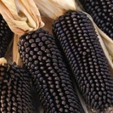 corn_dakota_black