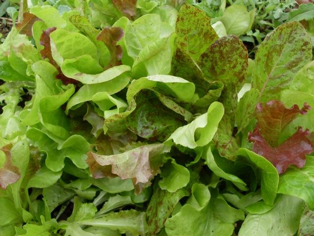 lettuce green mix