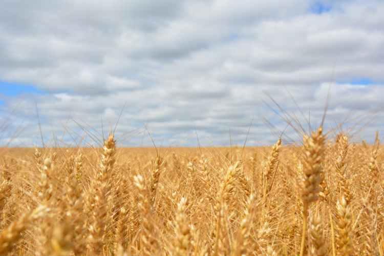 wheat field under blue cloudy sky